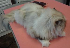 mobile cat grooming service Wildomar, California